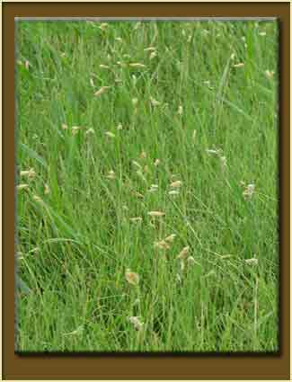 Buffalograss For Lawns